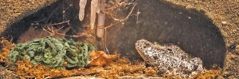 hibernująca żaba