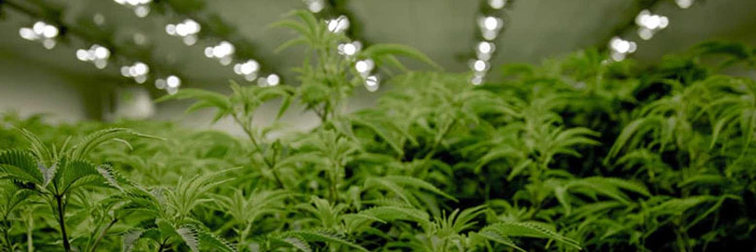 Jak uprawiać zioło: Przewodnik krok po kroku dla początkujących legalnych biznesów