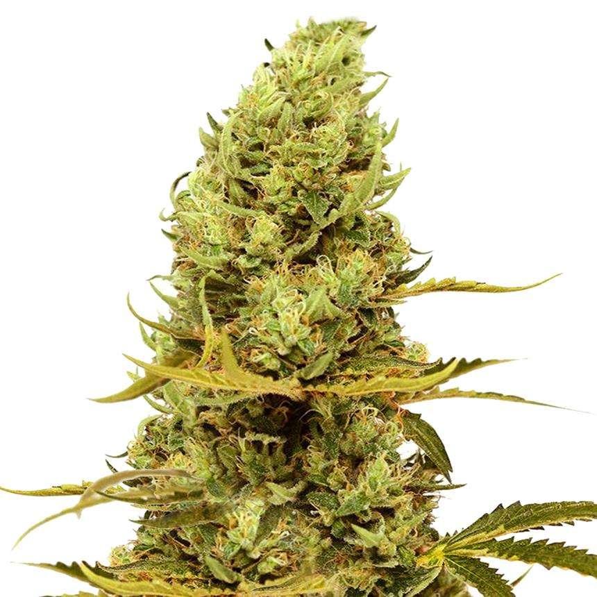 acapulco gold marihuana