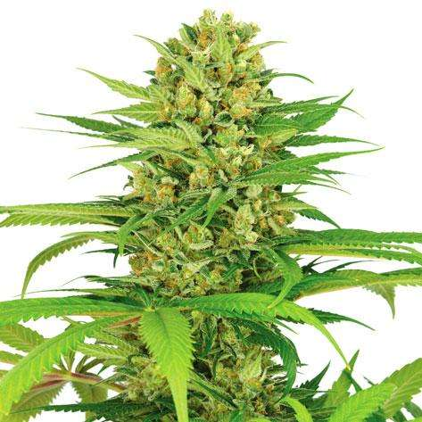 marihuana bubblegum