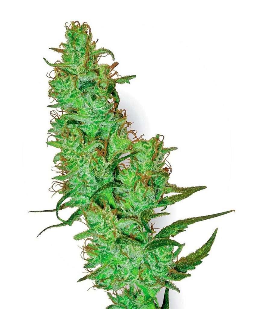 marihuana jack herer